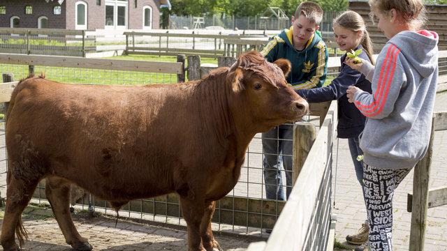 Kinderen aaien een stier bij speelboerderij de Flierefluiter