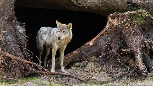 Wolf in Nederland bij Dierenpark Amersfoort