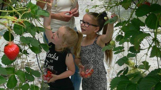 Kinderen plukken hun eigen aardbeien bij het Aardbeienhof.