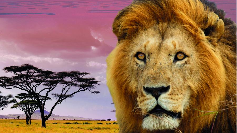Leeuw op de savanne in Afrika op de film in het Omniversum