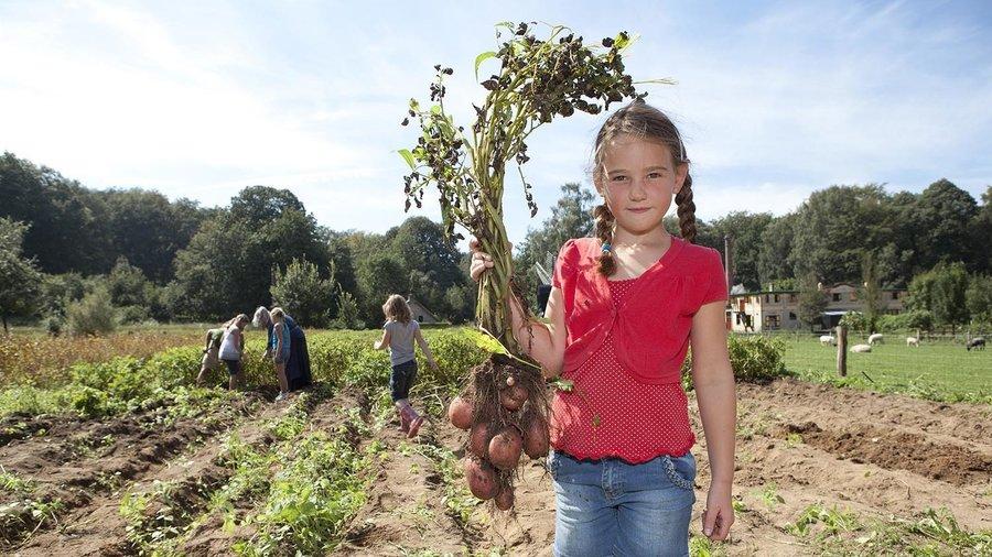 Meisje plukt aardappelen in Nederlands Openluchtmuseum