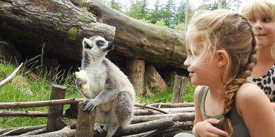 Kinderen ontmoeten maki op Apeneiland in DierenPark Amersfoort