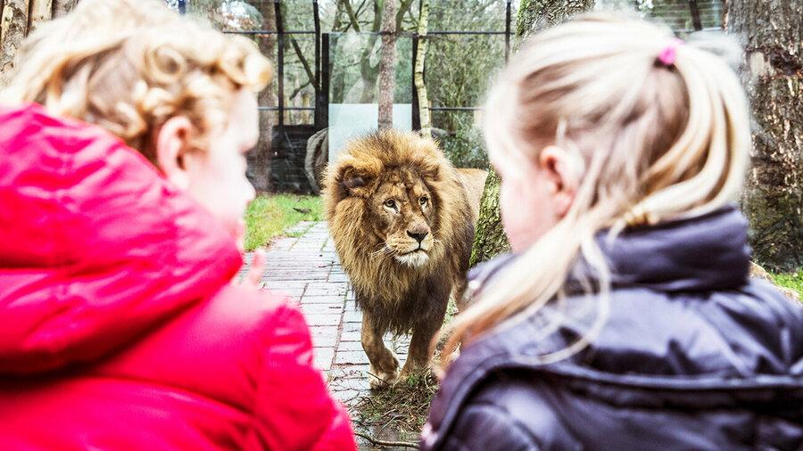Kinderen oog in oog met leeuw in DierenPark Amersfoort