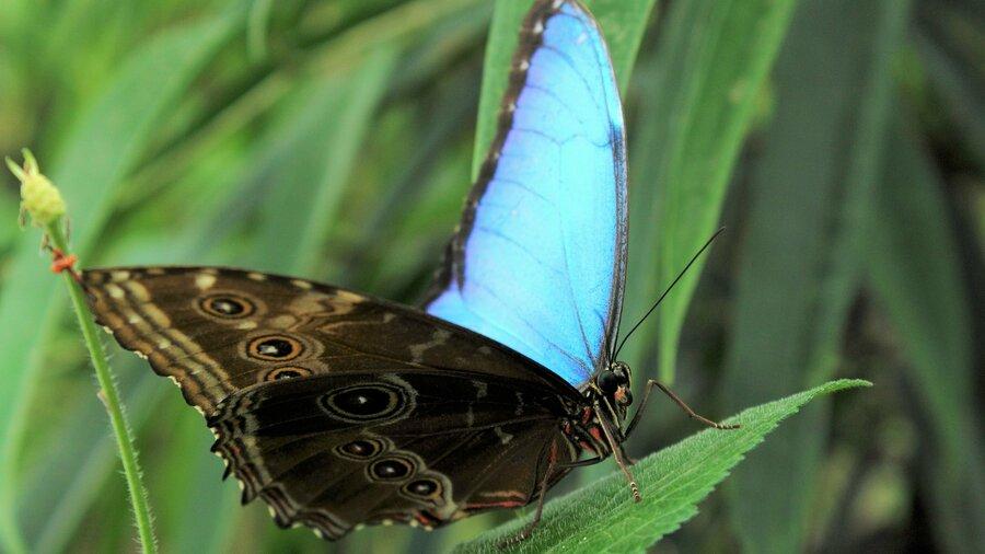 Vlinder met blauwe vleugels
