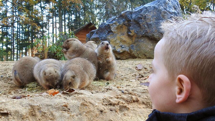 Jongetje ontmoet prairiehondjes in DierenPark Amersfoort