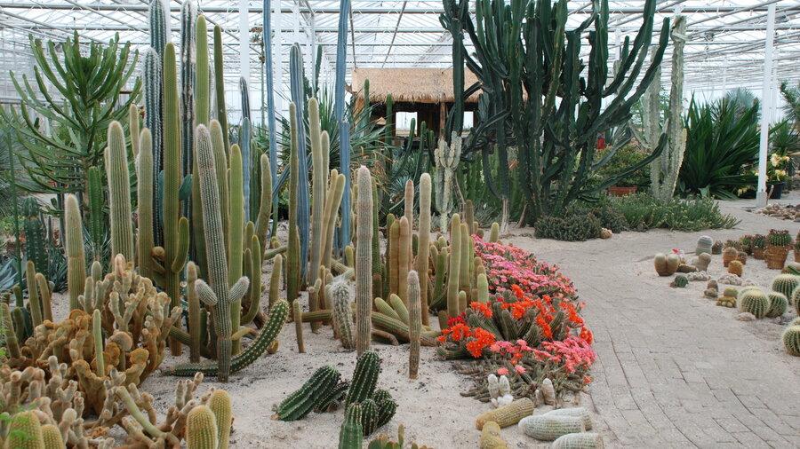 Hoge cactussen bij Cactus Oase