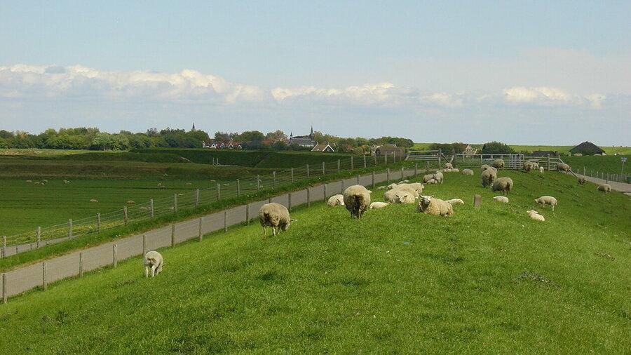 Schapen op de dijk op Texel