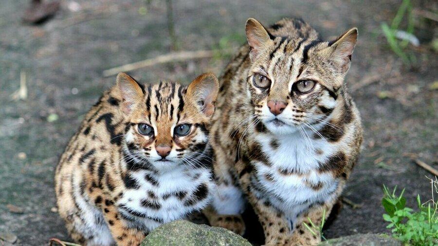 Wilde katten bij Taman Indonesia