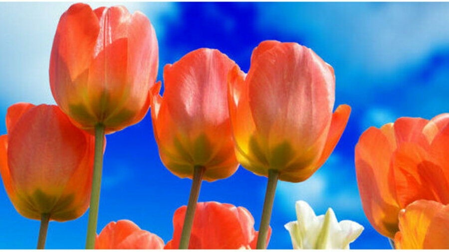 Fietsen door de tulpenvelden