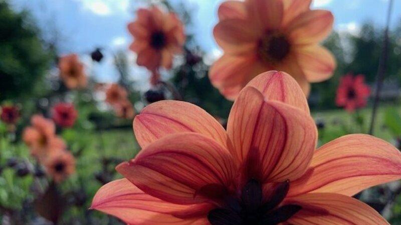 Oranje dahlia's