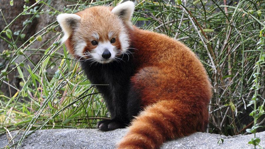 Rode panda in Vogelpark Avifauna